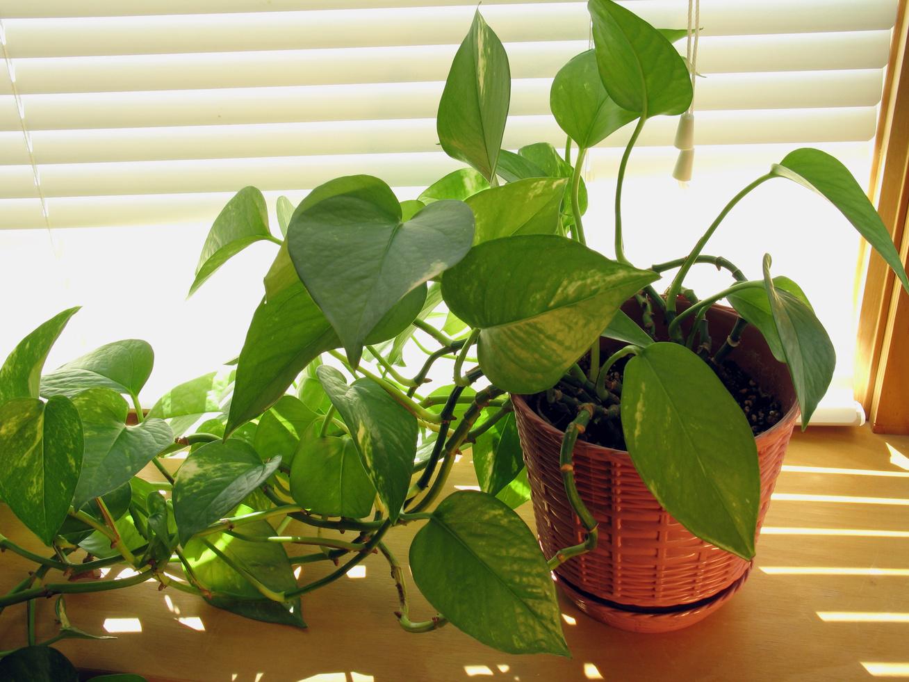 A szobanövények tisztítják a levegőt